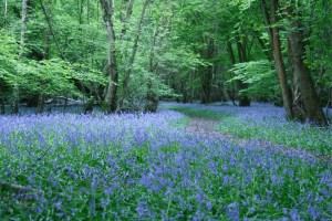 March: a time to visit Grandma's bluebell woods!